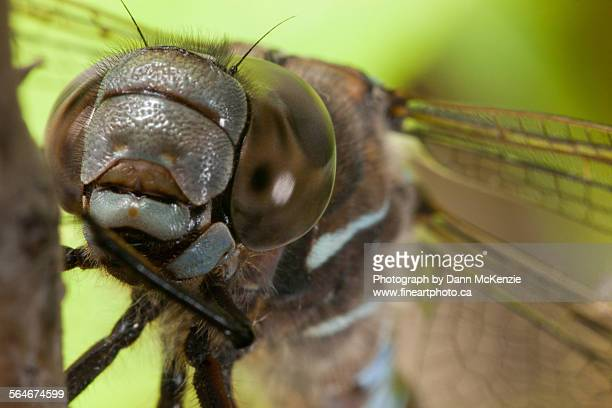 Dragonfly's face