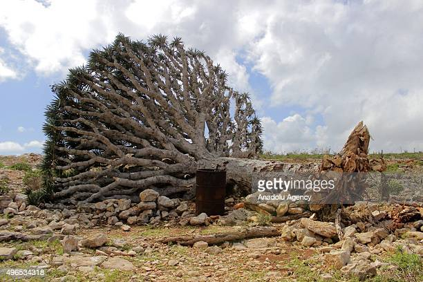 Dragon's blood tree is seen on the ground after the storm 'Megh' hits in Socotra Island of Yemen on November 10 2015 Officials said that at least 13...