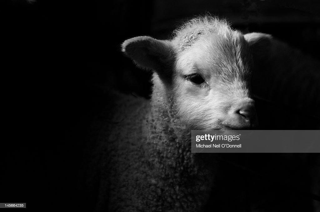 Dramatic Lamb (black & white) : Stock Photo