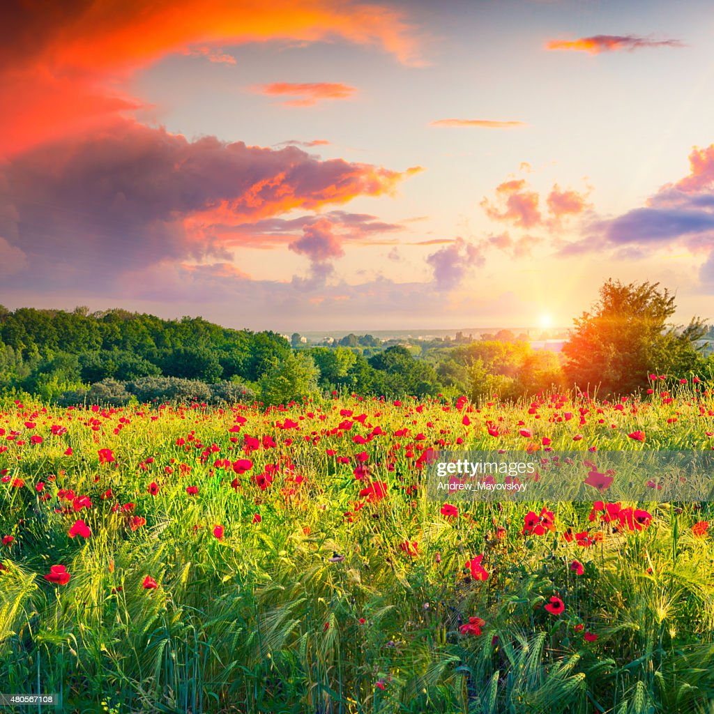 Dramatic sunrise overcast over the meadow of wheat and poppies : Stock Photo