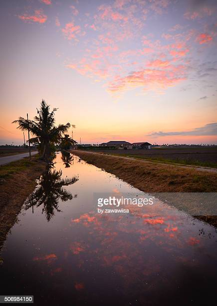 Dramatic sunset with vibrant color sky over paddy field,Malaysia.