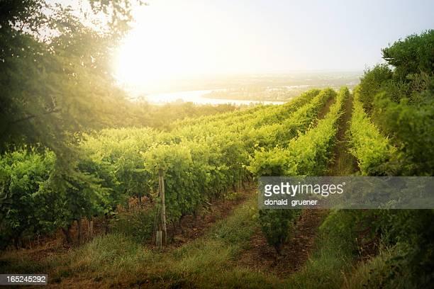 Dramatic Vineyard Sunrise in France