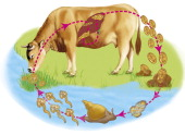 Drawing Illustrating The Evolutive Cycle Of The Liver Fluke The Cow Grazing The Herbs From The Border Of Water Points Ingest The Metacercariae...
