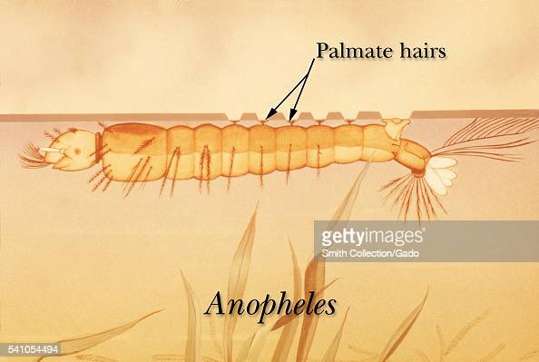 Showing palmate hairs at the water s surface 1975 by applying the