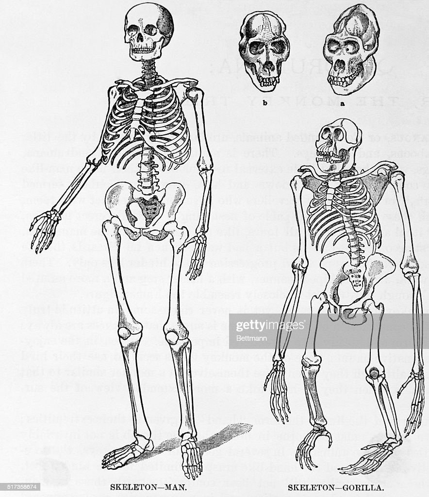 Uncategorized Drawing Skeletons skeletons of man and gorilla drawing pictures getty images showing the similarity between undated