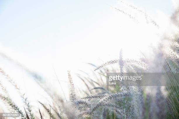 Dreamy close up detail of long grasses in sunlight