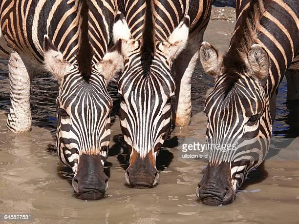 Drei Burchells Zebras trinken Köpfe eng zusammen Nahaufnahme