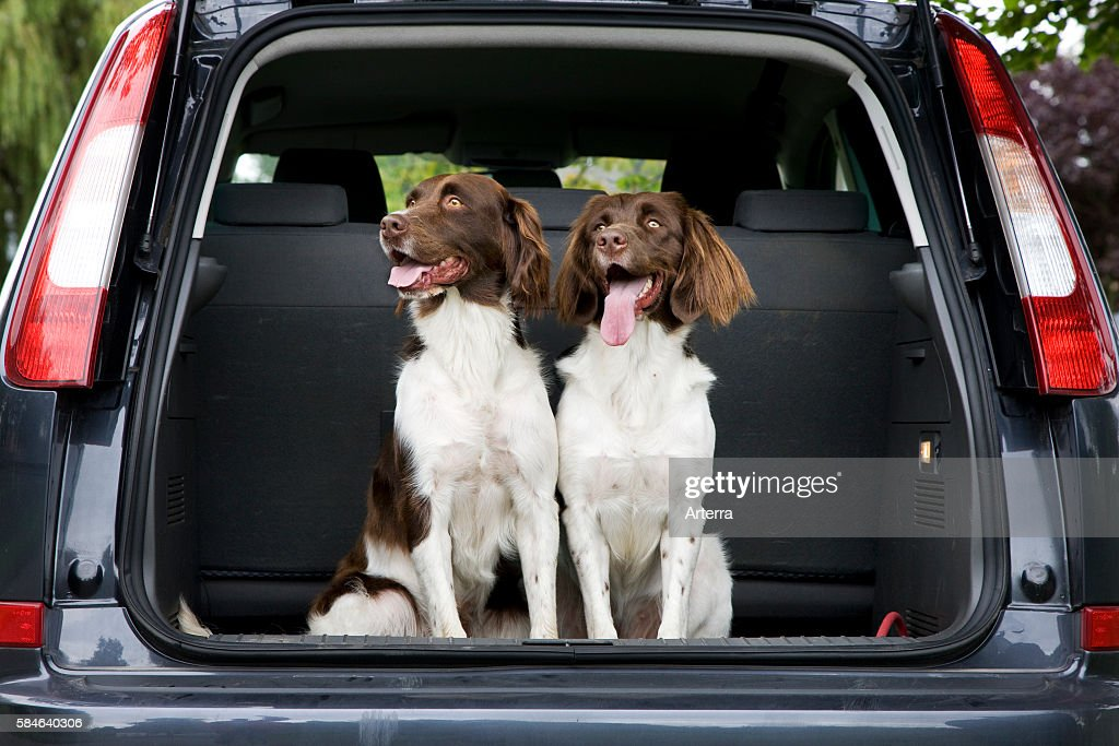 Drentsche Patrijshond / Dutch Partridge Dog / Drent spaniel type hunting dog in trunk of car the Netherlands
