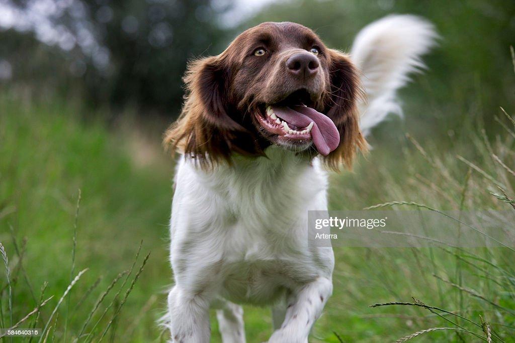 Drentsche Patrijshond / Dutch Partridge Dog / Drent spaniel type hunting dog in field the Netherlands