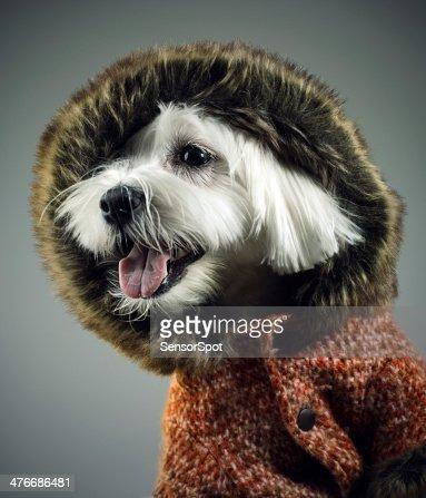 Dressed dog : Stock Photo
