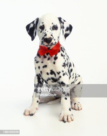 Dressed up Dalmation