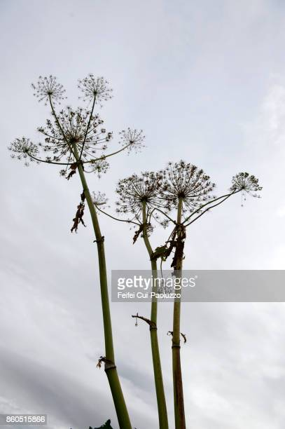 Dried Angelica plant at Hofsos, North Iceland