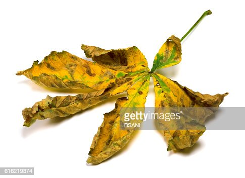 Dried autumn leaf of chestnut : Bildbanksbilder
