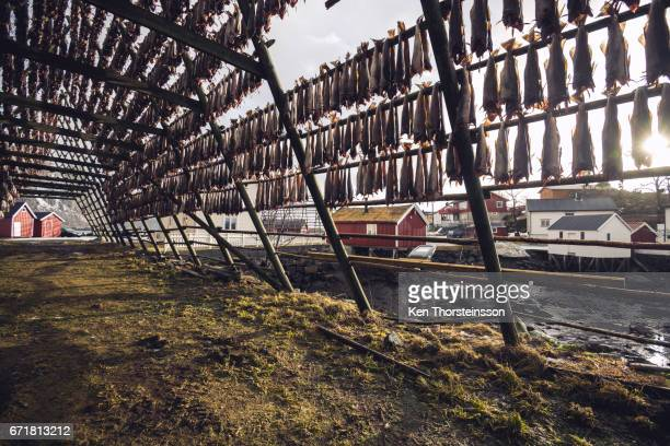 Dried cod at the Lofoten archipelago in Norway
