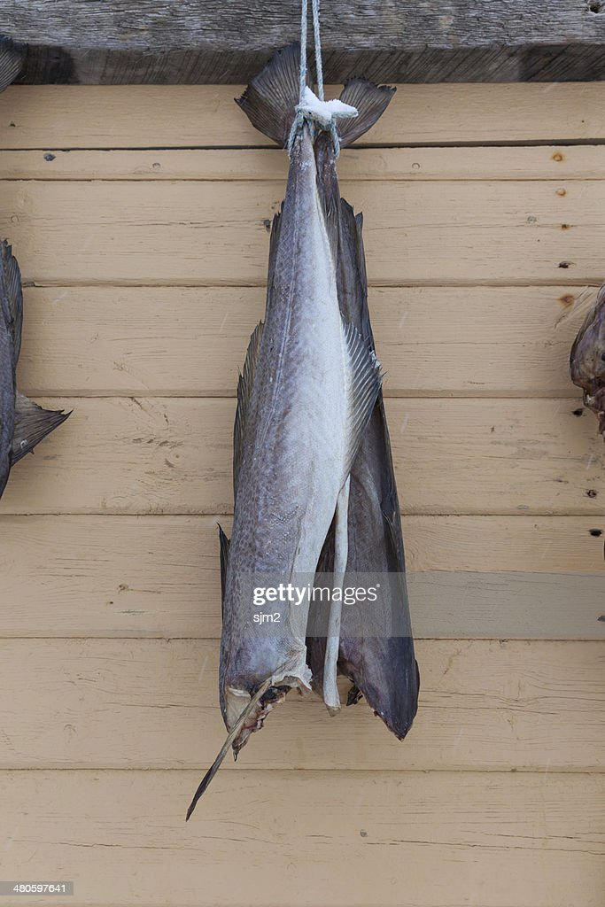dried cod fish body in Iceland : Stock Photo