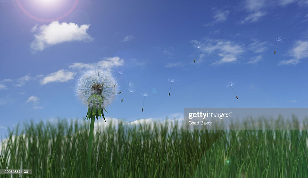 Dried dandelion with seeds blowing : Stock-Foto