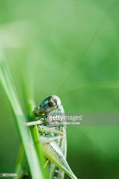 Dried exoskeleton of grasshopper attached to plant stalk