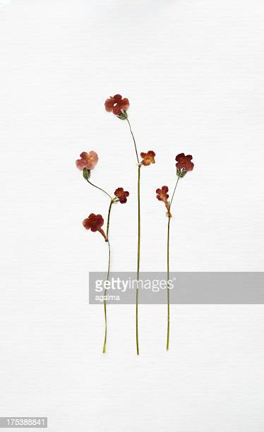 Dried Blumen