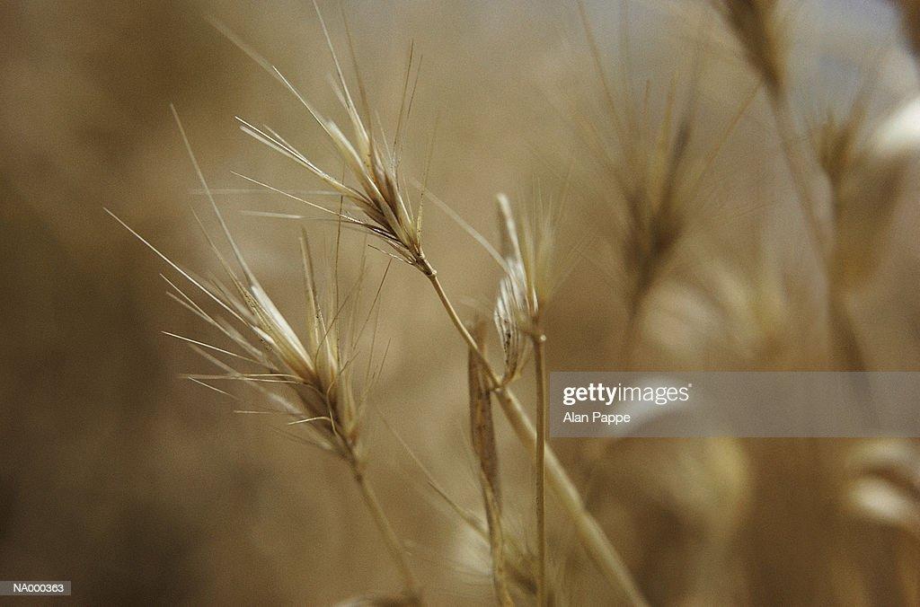 Dried grass, close-up
