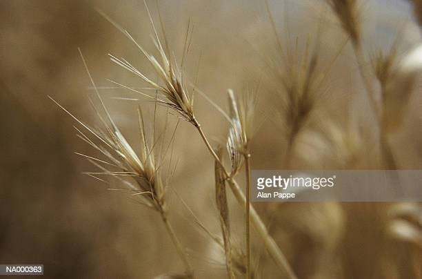 Dried grass, close-up