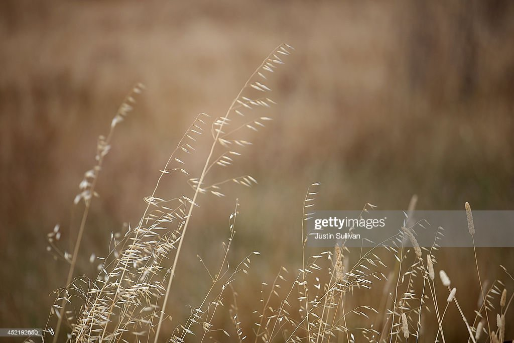 Dried grass is seen in a field on July 15, 2014 in Woodacre, California. As the severe drought in California contiues to worsen, the State's landscape and many resident's lawns are turning brown due to lack of rain and the discontinuation of watering.