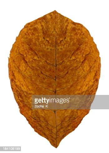 Dried leaf (CLIPPING PATH  included)