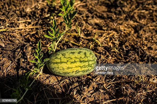 A dried out Watermelon field on May 04 2016 in Ben Tre Province Vietnam Vietnam's Mekong Delta had been hit by its worst drought in 90 years caused...