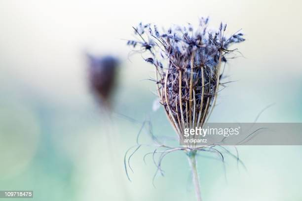 Dried queen anne's lace flower