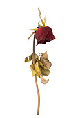 dried rose isolated on a white background