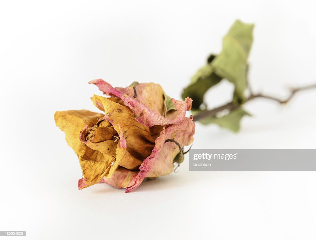 Dried rose : Stockfoto