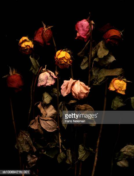 Dried roses on black background