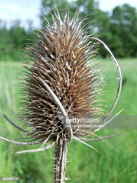 Dried Thistle On Field