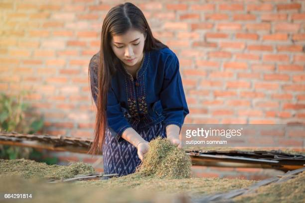 Dried tobacco leaves Lao girls are choosing the quality of the cigarette