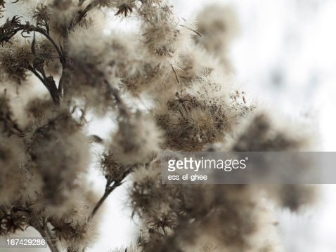 dried up plant : Stock Photo