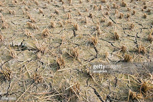 Dried Up Rice Paddy