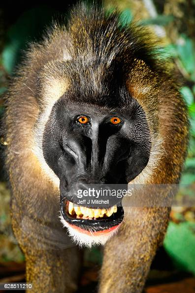 A drill monkey is displayed during a press preview for a new taxidermy exhibition on December 8 2016 in Edinburgh Scotland More than sixty taxidermy...