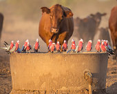 Galahs were not willing to give up the trough for the cattle during a drought