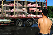 A driver sprays water to pigs in hot weather on July 20 2016 in Kunshan Jiangsu Province of China A driver carrying two hundred pigs on truck started...