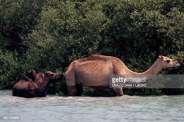 Dromedaries Camelids Kamaran archipelago Yemen