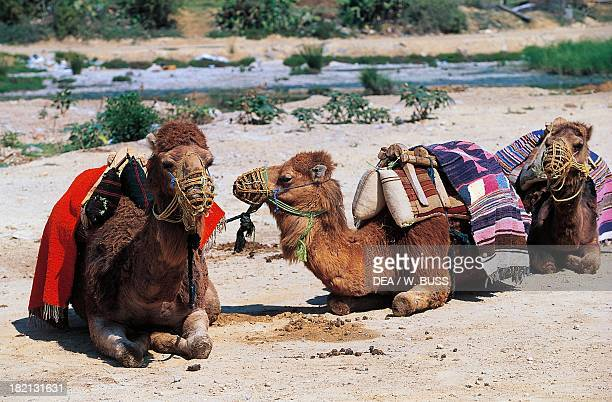 Dromedaries Camelids Sousse surroundings Tunisia