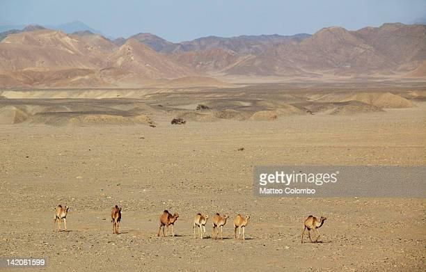 Dromedaries in desert