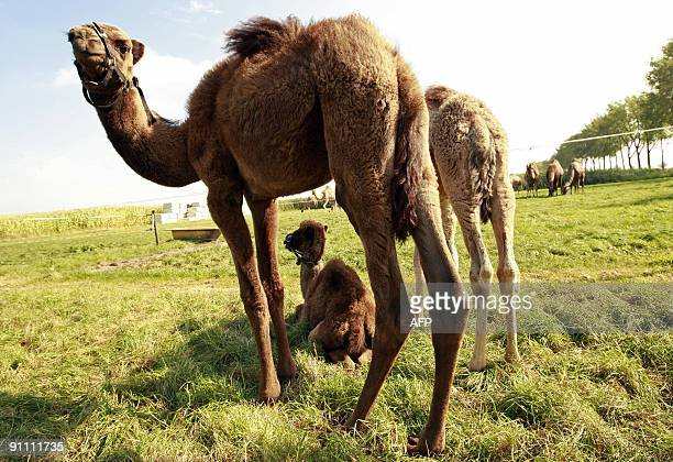 PAUWELS Dromedaries or Arabian camels among them a newborn dromedary rest in the pasture of a Dutch farm on September 23 2009 at Cromvoirt In the...