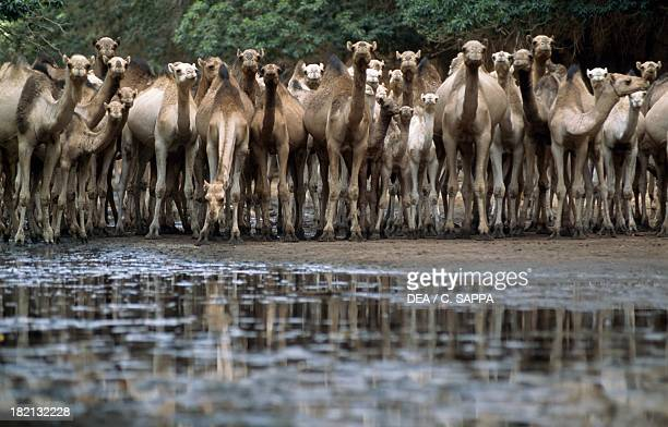 Dromedaries watering Camelids Bachikele Gorges Ennedi Massif Chad