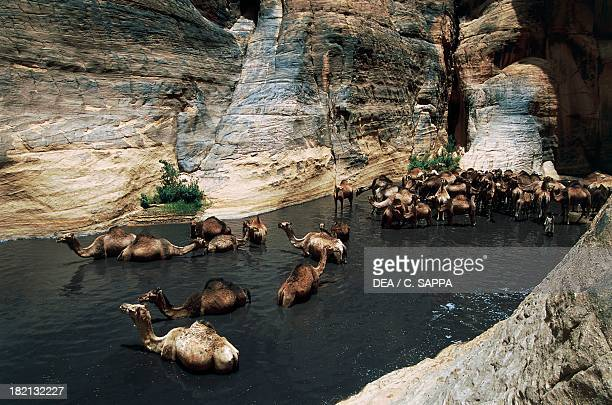 Dromedaries watering Camelids Guelta d'Archei Ennedi Massif Chad