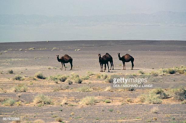 Dromedary and biker Dashte Lut desert Iran