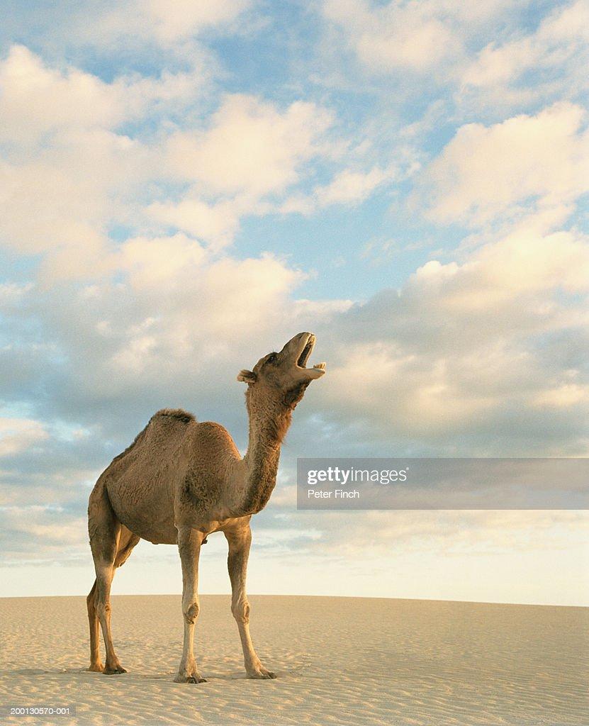 Dromedary camel (Camelus dromedarius) calling in desert : Stock Photo