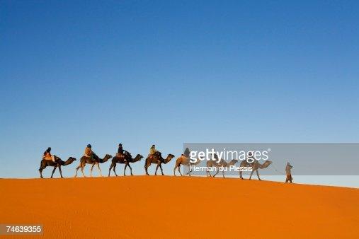 Dromedary Camel (Camelus dromedarius) Caravan Walking Along a Sand Dune in Merzouga