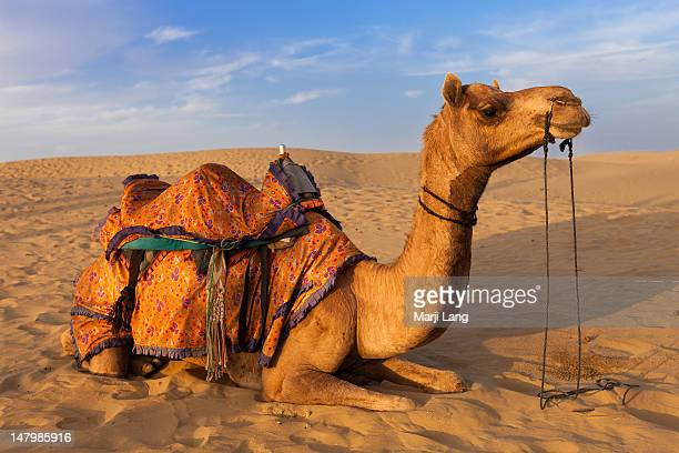 Dromedary camel lying in sand dunes