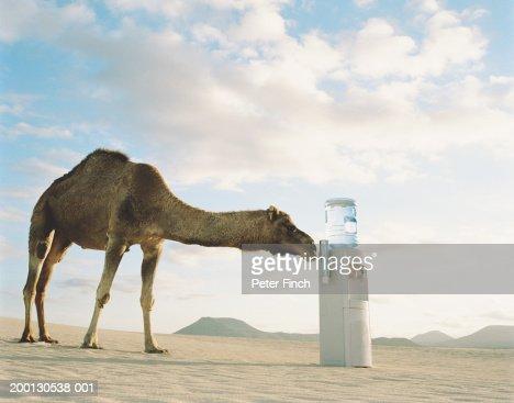 Dromedary camel sniffing water dispenser in desert : Stock Photo
