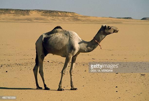 Dromedary Camelidae along the track Wadi HalfaDaraw between Egypt and Sudan Eastern Sahara Egypt